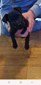 Patterdale male puppy