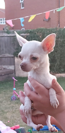 Still for sale Chihuahua girl tiny!! Full Kc
