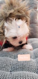 Maltese puppies xxs , Ready Now ♡ Korean Dolls ♡