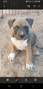American staffy pups be quick only 2 left