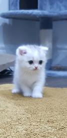Persian Chinchilla Fold X Kitten 1 boy left