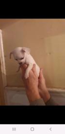 2 tiny jug puppies both girls pug x jack Russell
