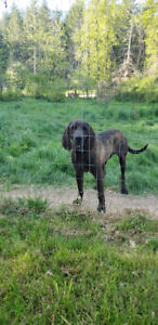 Free to good home male lab x hound