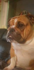 2 year old English bulldog female