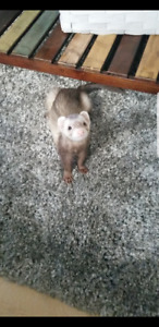 2 male ferrets with everything needed