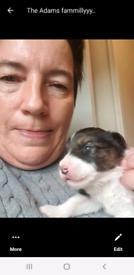 Pedigree collie pups