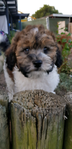 Cavoodle puppies ( last Male tri color available)