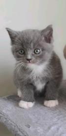 British short hair x ragdoll female Kittens