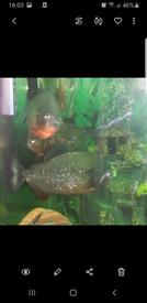 Piranha fish+tank for sale