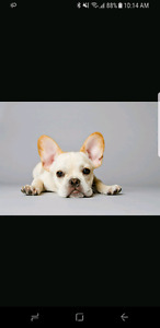 ISO French bulldog or Boston Terrier