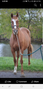 Beautiful papered 18 year old chestnut thoroughbred broodmare.