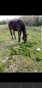 Free Standardbred Mare to good home