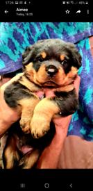 Pedigree top quality rottweiler pups.