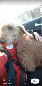 poodle mix / golden-doodle? found at five corners