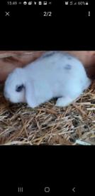 2x loop rabbits
