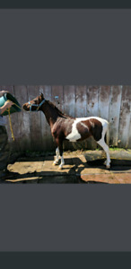 Paint pony for sale REDUCED PRICE