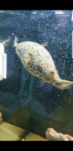 Green spotted puffer full marine