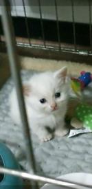 pure Turkish angora male kitten ready to leave
