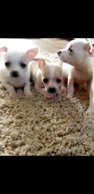 Full breath chihuahuas puppys for sale in reading tilehurst