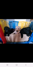 Kc reg Standard poodle puppies