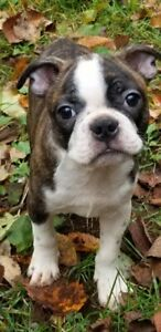 Beautiful Boston Terrier Puppies!!