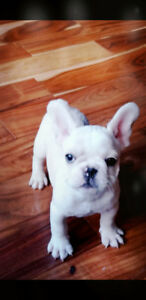French Bulldogs Puppies (Blue, Fawn, Black)