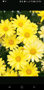 WANTED LARGE MATURE CLUMPS OF YELLOW DAISIES