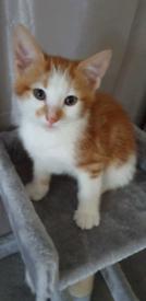 Fluffy White & Ginger Kittens £200