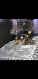 Miniature Yorkshire terrier girl