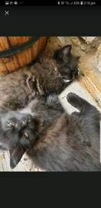 3 kittens, litter trained, tame