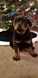 Adorable Rottweiler Puppies!