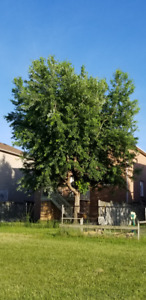 Fast Growing Silver Maple Trees, 2 to 4 feet tall, for sale GTA