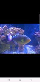 Pink tail trigger, marine fish