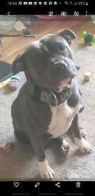 Blue staffy pups