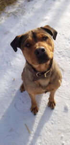 Male Rottweiler cross for adoption - Max