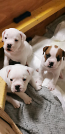 British bulldog x old thyme bulldog x boxer puppies for sale