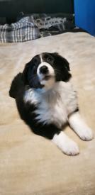 collie x lassy female puppie
