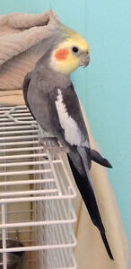 Cockatiel to an experienced owner