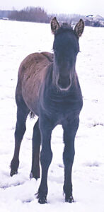 Curly half Friesian filly and molly mule