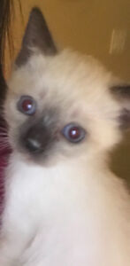 Blue Point Siamese kittens for sale