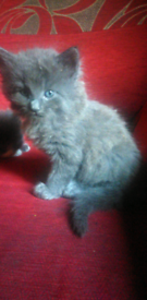 ONLY 2 LEFT!!!! grey blue maine coon x siberian kittens