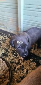 Bedlington bull greyhound 6 m 3 f