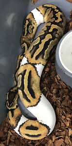 Pied female 850gr