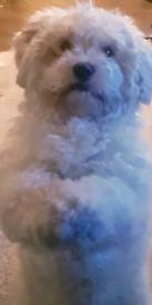 Dog 3yrs old shitzu/bichon