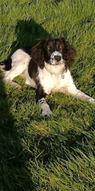 Springer Spaniel Female