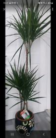 Large indoor plants 3 in 1 Dracena Marginata