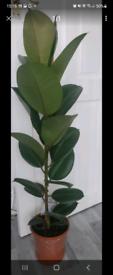 Indoor plant Ficus