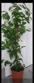 Very large indoor plant for sale