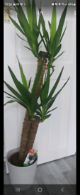 Large indoor plants 2 in 1 Yucca