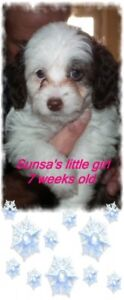 Toy Aussie/doodle pups only will be around 10 punds